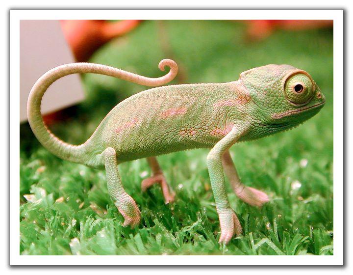 Baby Chameleon.jpg