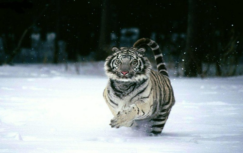 charging tiger.jpg