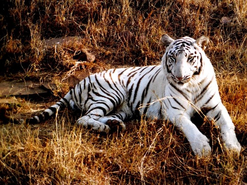 jw \'04 Nature Walls 011 - White Tiger.jpg