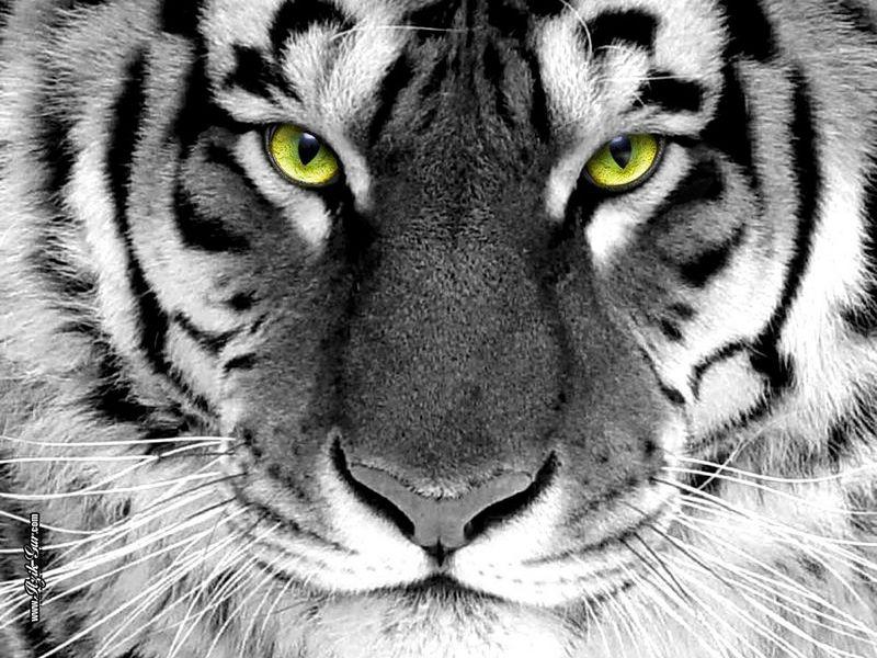 tiger eyes.jpg
