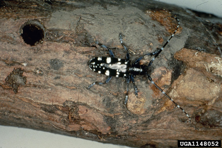 Asian Longhorned Beetle (Anoplophora glabripennis) <!--유리알락하늘소-->; Image ONLY