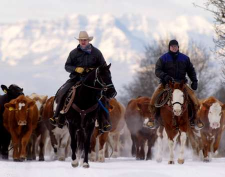Cattle Migration, Canada [REUTERS 2005-12-04]; Image ONLY