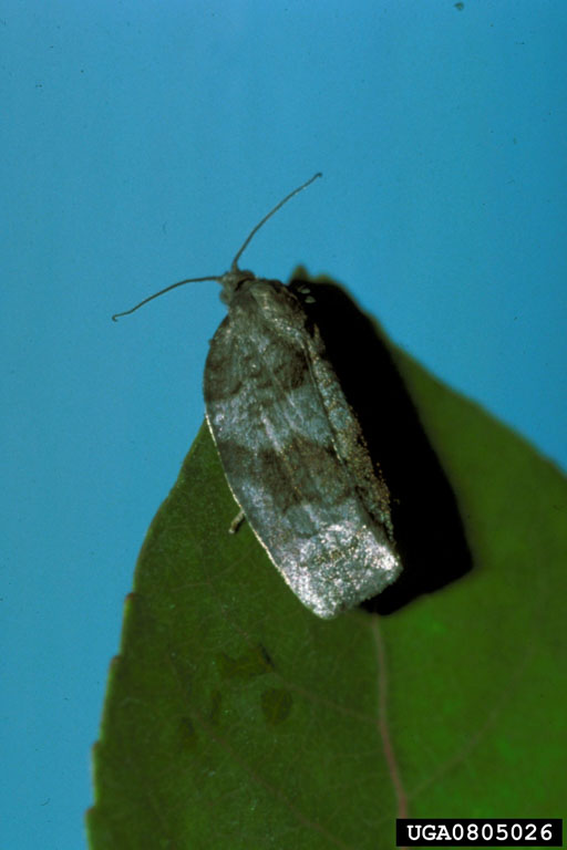 Large Aspen Tortrix (Choristoneura conflictana) {!--잎말이나방과(Tortricidae)-->; Image ONLY
