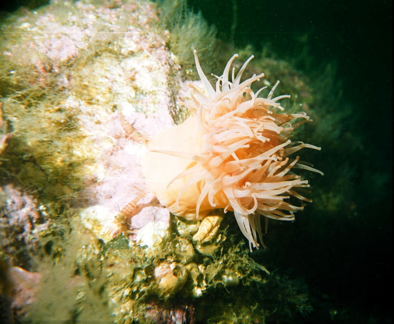 Sea Anemone with Shrimps <!--말미잘과 새우-->; DISPLAY FULL IMAGE.