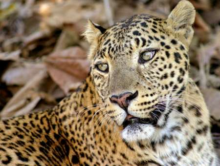 Indian Leopard, India [REUTERS 2005-12-19]; Image ONLY