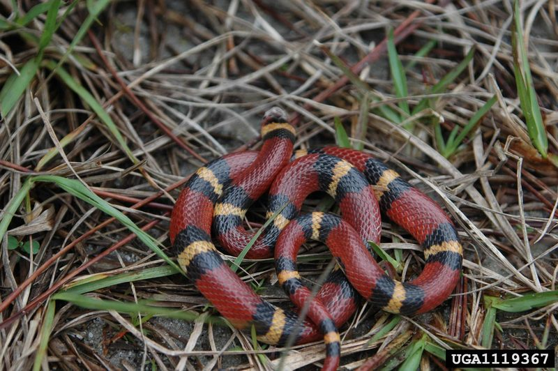 Scarlet King Snake (Lampropeltis triangulum elapsoides) <!--주홍왕뱀/붉은왕뱀-->; DISPLAY FULL IMAGE.