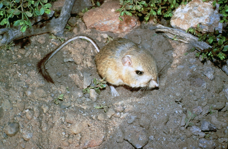 Giant Kangaroo Rat (Dipodomys ingens) <!--큰캥거루쥐-->; DISPLAY FULL IMAGE.