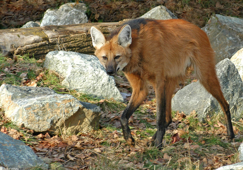 Maned Wolf (Chrysocyon brachyurus); DISPLAY FULL IMAGE.