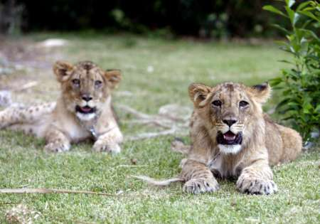 Lion Cubs, Uruguay [REUTERS 2005-12-28]; Image ONLY