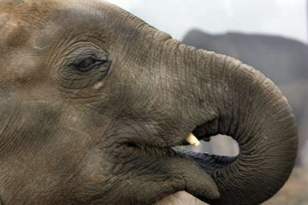 Asiatic Elephant Calf, Nepal [REUTERS 2005-12-28]; Image ONLY
