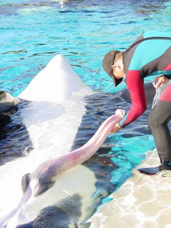 killer whale pennis.jpg