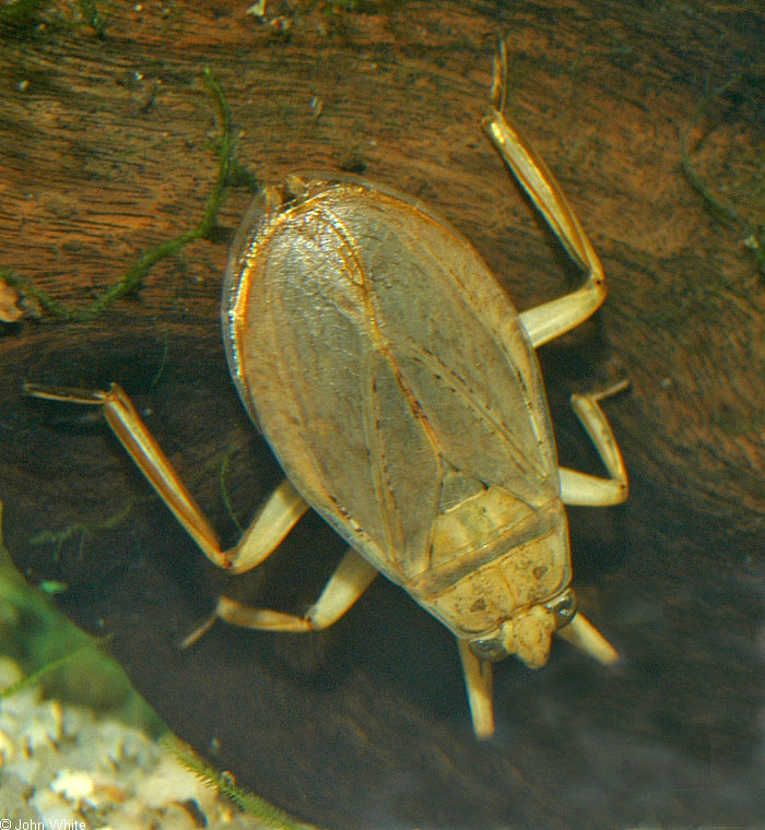Giant Water Bug (Lethocerus americanus); Image ONLY
