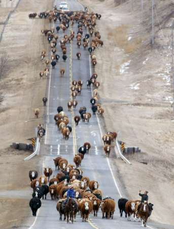 Cattle Drive, Canada [REUTERS 2006-01-02]; Image ONLY