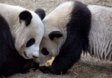 Giant Pandas, China [REUTERS 2006-01-03]; Image ONLY