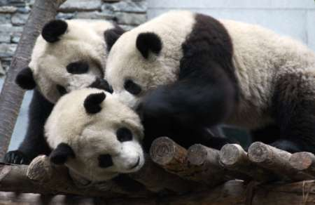 Giant Pandas, China [REUTERS 2006-01-04]; Image ONLY