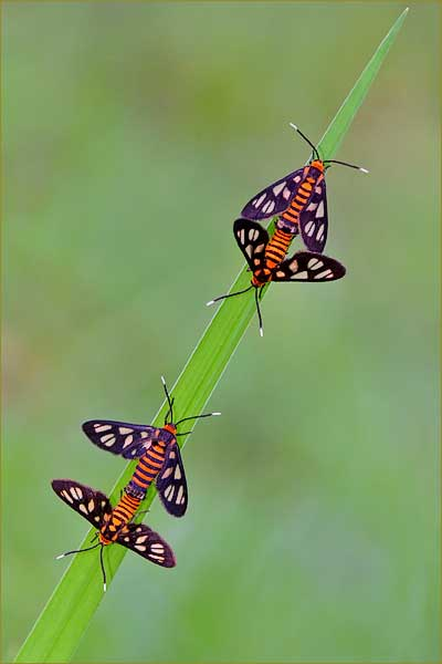mating moths.jpg