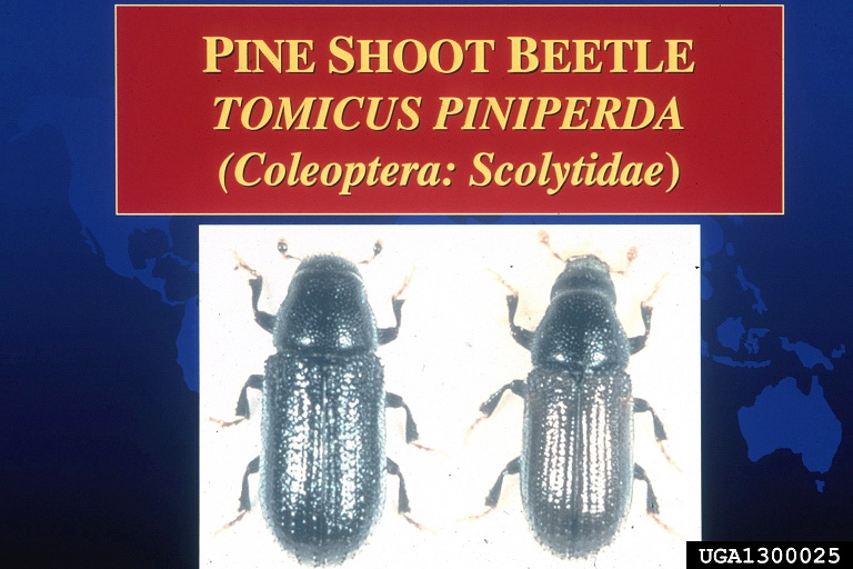 Common Pine Shoot Beetle (Tomicus piniperda) <!--소나무좀-->; Image ONLY