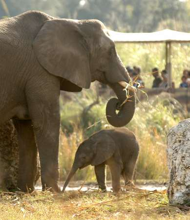 Newborn African Elephant, USA [REUTERS 2006-01-06]; Image ONLY