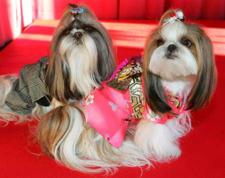 Shih-tzu Dogs, Japan [REUTERS 2006-01-08]; Image ONLY