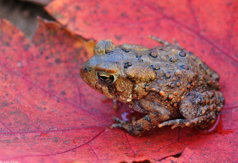 American Toad (Bufo americanus); DISPLAY FULL IMAGE.