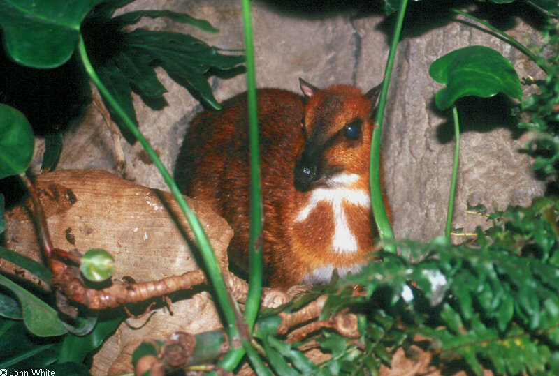Larger Malay Chevrotain [a.k.a. Mouse Deer] (Tragulus napu)420; Image ONLY