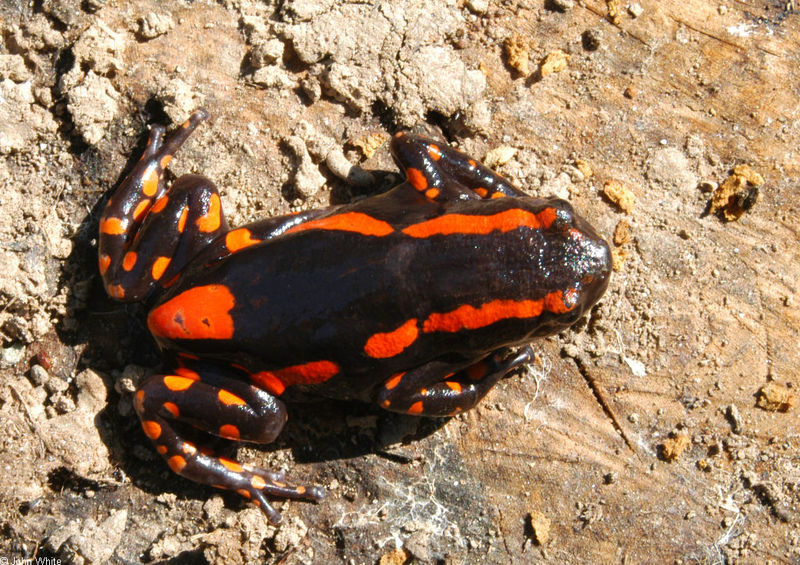 Fire Walking Frog or Red-banded Rubber Frog (Phrynomantis bifasciatus)052; DISPLAY FULL IMAGE.