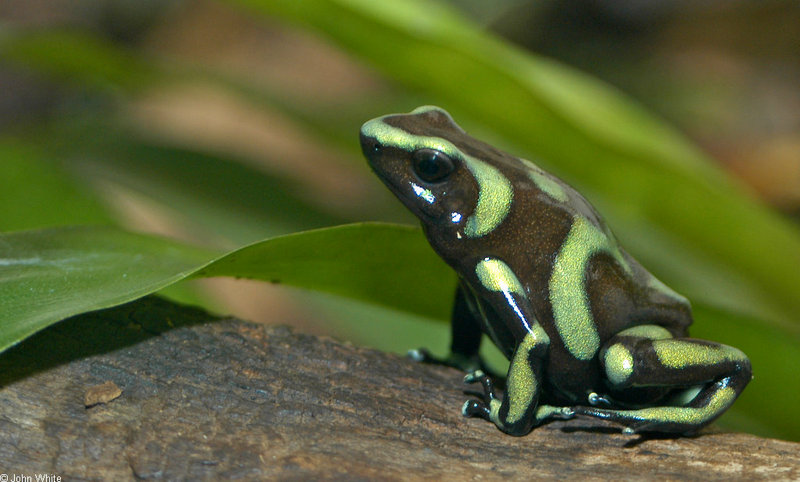 Green and Black Poison Dart Frog (Dendrobates auratus)002; DISPLAY FULL IMAGE.