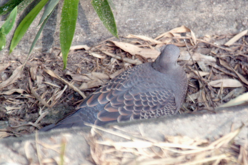 Oriental Turtle Dove (Streptopelia orientalis) <!--멧비둘기-->; DISPLAY FULL IMAGE.