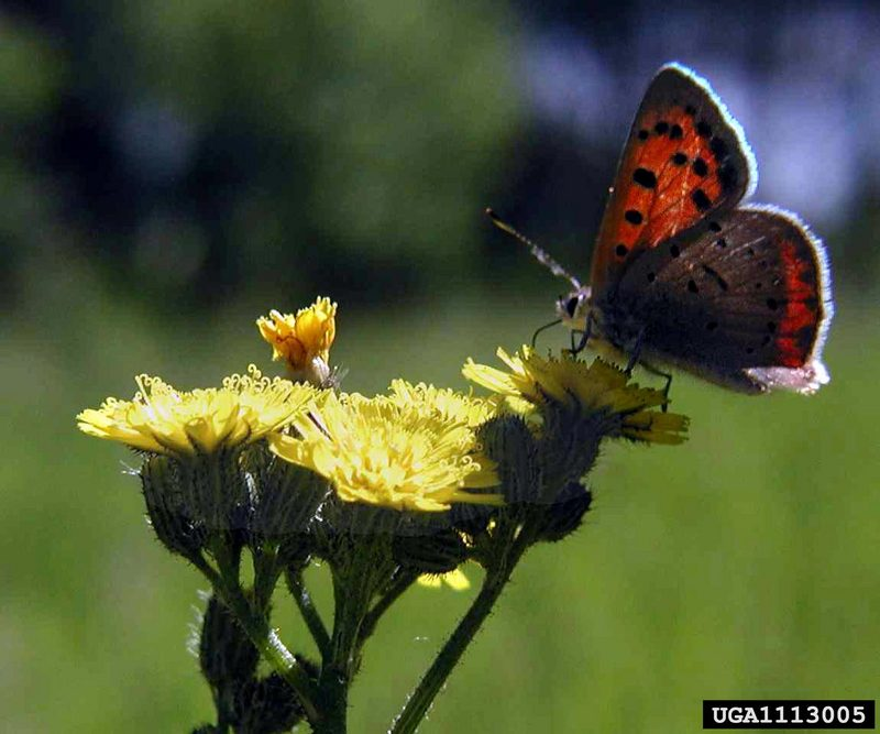 Small Copper Butterfly (Lycaena phlaeas) {!--작은주홍부전나비-->; DISPLAY FULL IMAGE.