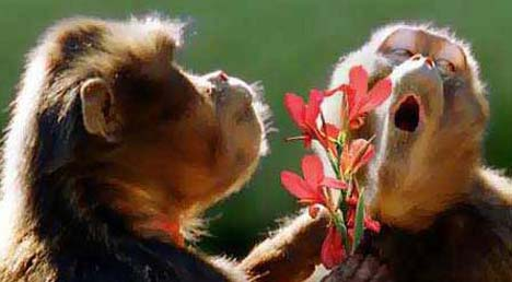 monkey\'s propose.jpg