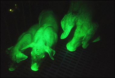 Transgenic Fluorescent Green Pig, Taiwan [AFP 2006-01-12]; Image ONLY