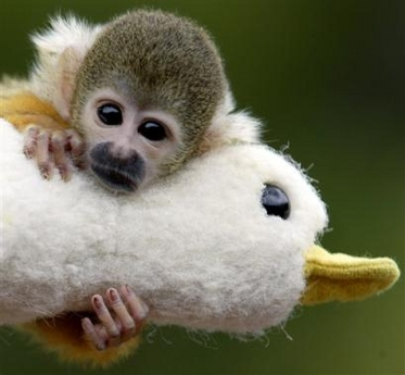 Orphaned Squirrel Monkey, Australia [AP 2006-01-18]; Image ONLY