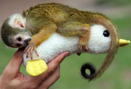 Baby Common Squirrel Monkey, Australia [REUTERS 2006-01-19]; Image ONLY