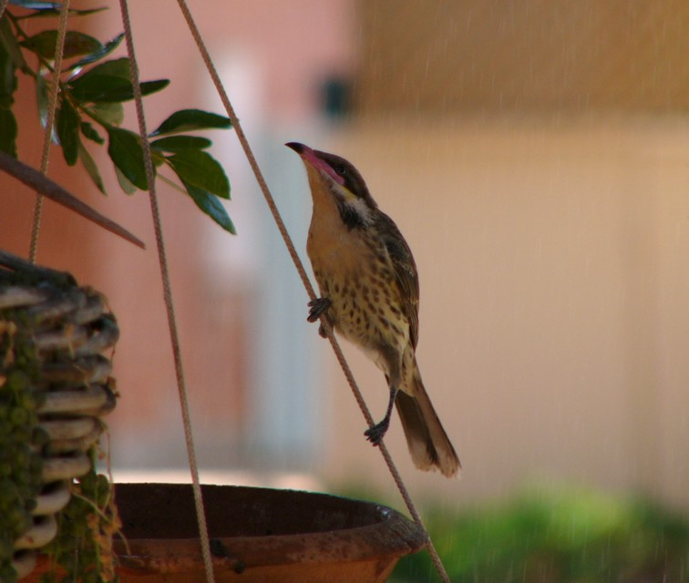 bird on a string (Spiny-cheeked Honeyeater); Image ONLY