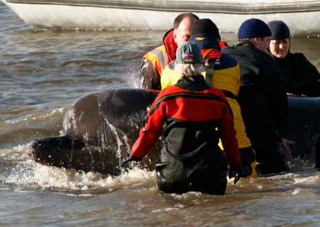 Northern Bottlenose Whale stranded, Britain [REUTERS 2006-01-21]; Image ONLY