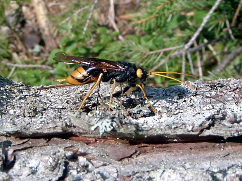 giant wood wasp (Urocerus gigas) <!--잣나무송곳벌-->; Image ONLY