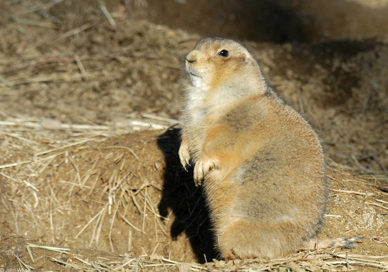 Black-Tailed Prairie Dog (Cynomys ludovicianus)028; DISPLAY FULL IMAGE.
