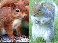 Grey squirrels face massive cull [BBC 2006-01-22]; Image ONLY