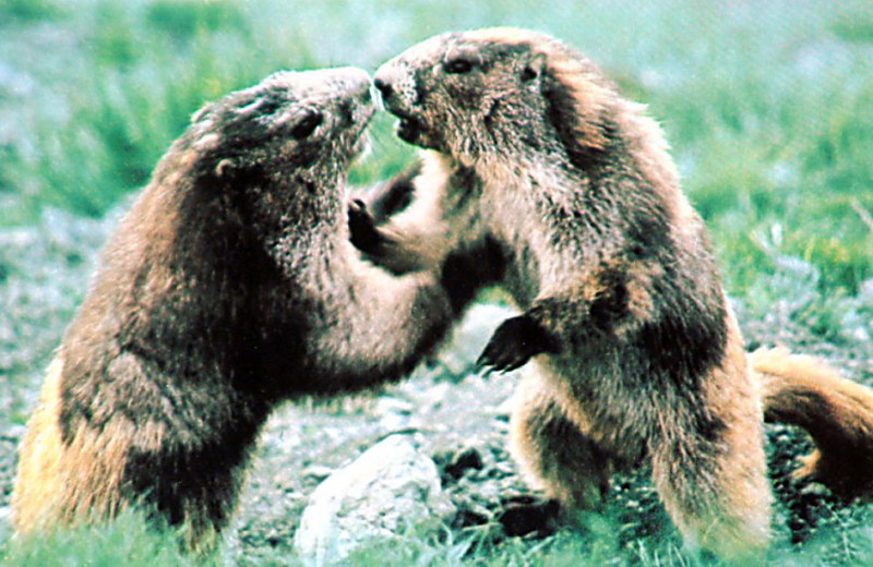 Olympic Marmots.jpg