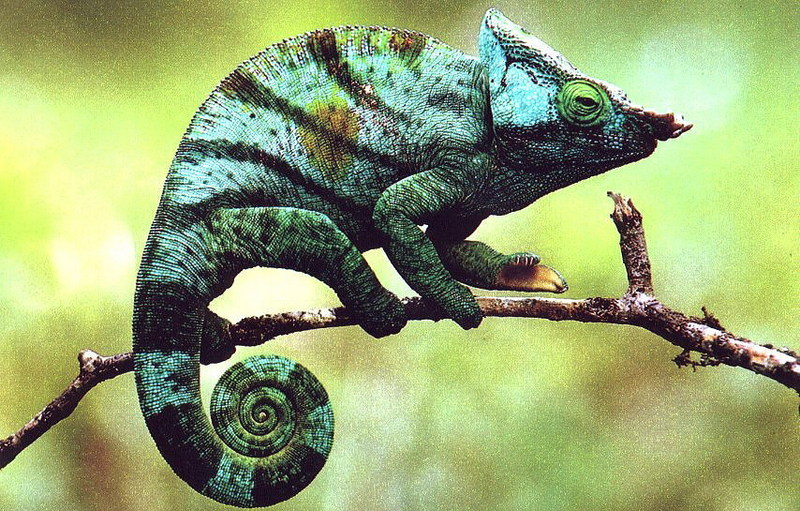 Parson's Chameleon; DISPLAY FULL IMAGE.