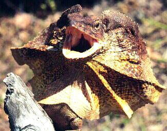 FRILLED LIZARD.jpg