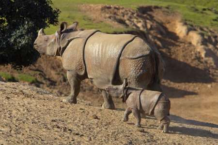 Baby Indian Rhinoceros, USA [REUTERS 2006-01-26]; Image ONLY