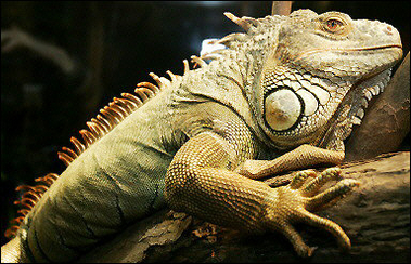 Pet Green Iguana, Germany [AFP 2006-01-28]; Image ONLY