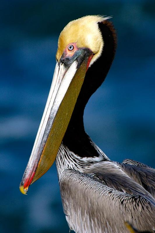 Brown pelican; Image ONLY