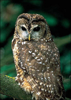 Northern Spotted Owl, Canada [AFP 2006-01-31]; Image ONLY