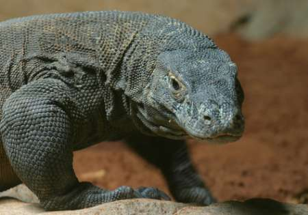 Komodo Dragon, Zoo, South Africa [REUTERS 2006-01-31]; Image ONLY