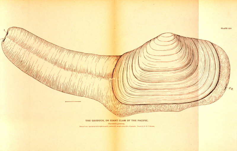 Giant Clam (Glycimeris generosa); DISPLAY FULL IMAGE.