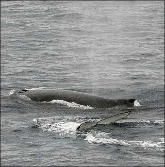 Humpback Whale, Singing, Australia [AFP 2006-02-01]; Image ONLY