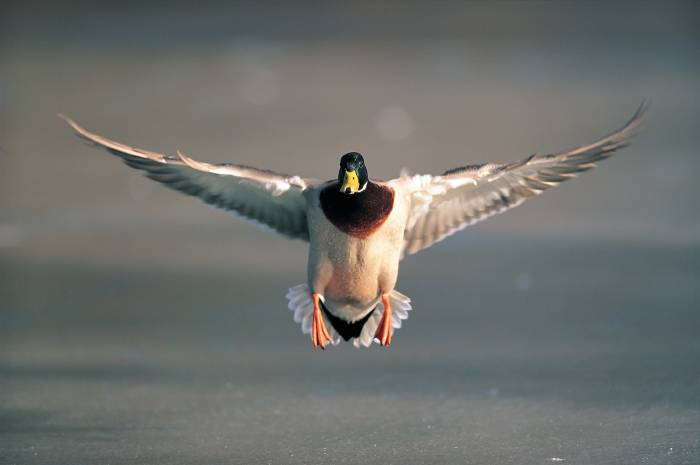 Flying mallard drake; Image ONLY
