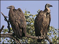 Bird groups hopeful on vultures [BBC 2006-02-01]; Image ONLY